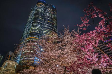夜桜と六本木ヒルズ(毛利庭園)の写真素材 [FYI02979321]