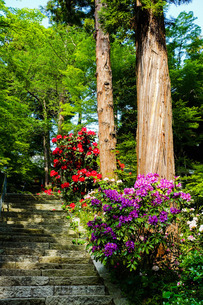 四国霊場、白峯寺参道に咲くシャクヤク(芍薬) の写真素材 [FYI02979470]