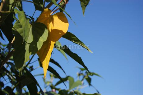 一枚だけ黄色になった葉の写真素材 [FYI02979530]