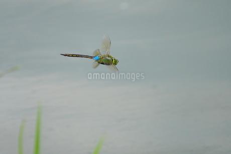 池の上を飛ぶギンヤンマの写真素材 [FYI02979720]