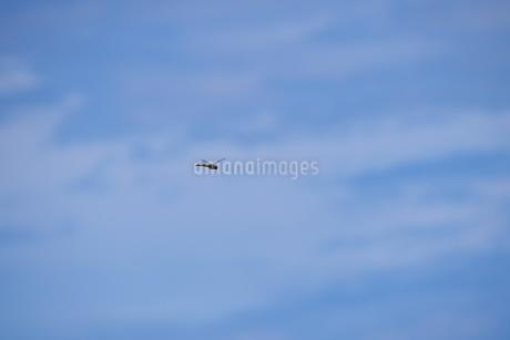 青空を背景に飛ぶ赤トンボの写真素材 [FYI02979726]