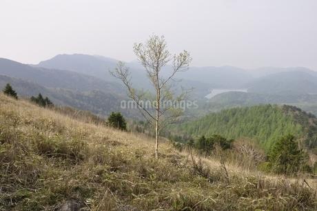 笹原に立つ岳樺の写真素材 [FYI02979803]