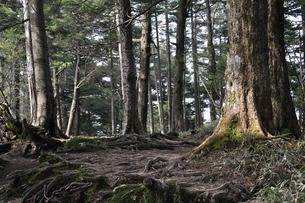 大菩薩嶺の樹林の写真素材 [FYI02979806]