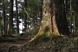 大菩薩嶺の樹林の写真素材 [FYI02979807]