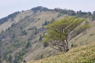 大菩薩嶺 笹原の高山の写真素材 [FYI02979823]