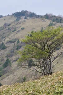 大菩薩嶺 笹原の高山の写真素材 [FYI02979824]