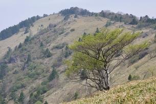 大菩薩嶺 笹原の高山の写真素材 [FYI02979825]