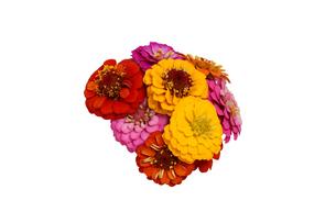 ジニアの花束の写真素材 [FYI02979881]