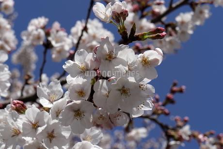 桜の花の写真素材 [FYI02979921]