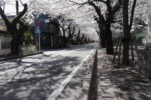 桜並木の写真素材 [FYI02979935]