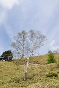 ダケカンバの高原の写真素材 [FYI02980135]