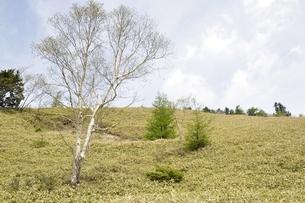 ダケカンバの高原の写真素材 [FYI02980139]