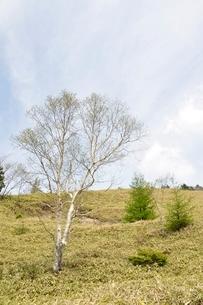 ダケカンバの高原の写真素材 [FYI02980141]