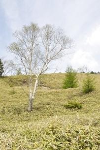 ダケカンバの高原の写真素材 [FYI02980142]
