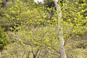 ダケカンバの高原の写真素材 [FYI02980149]