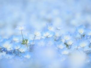 ネモフィラのお花畑の写真素材 [FYI02980165]
