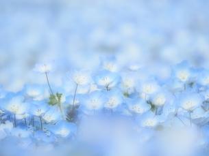 ネモフィラのお花畑の写真素材 [FYI02980166]