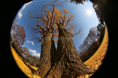 魚眼レンズで撮影したイチョウの木の写真素材 [FYI02980240]