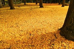 一面を覆うイチョウの落ち葉の写真素材 [FYI02980245]
