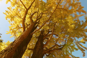 下から見上げた黄葉したイチョウの木の写真素材 [FYI02980280]