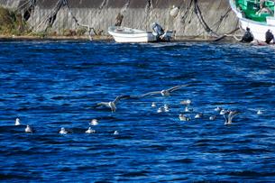 片瀬江ノ島、境川河口近くのカモメの写真素材 [FYI02980283]
