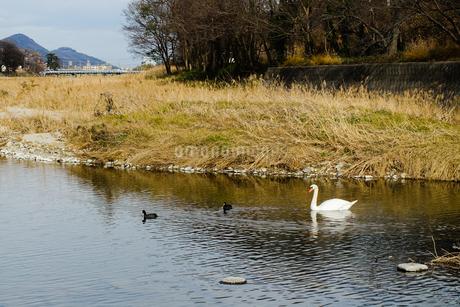 郷東川(香東川)を泳ぐ白鳥の親子の写真素材 [FYI02980285]