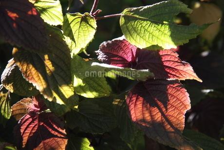 サンパウロで栽培されているシソの写真素材 [FYI02980431]