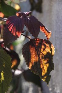 サンパウロで栽培されているシソの写真素材 [FYI02980439]