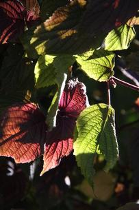 サンパウロで栽培されているシソの写真素材 [FYI02980445]