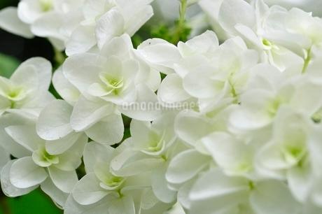 ヤエカシワバアジサイの写真素材 [FYI02980551]