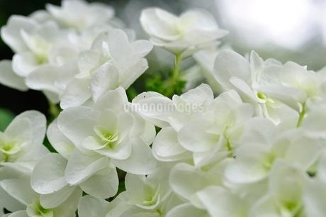 ヤエカシワバアジサイの写真素材 [FYI02980552]