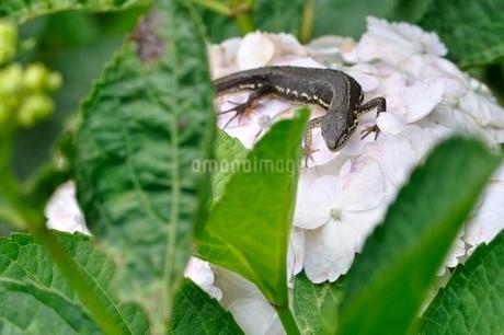 カナヘビの写真素材 [FYI02980583]