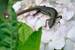 カナヘビの写真素材 [FYI02980584]