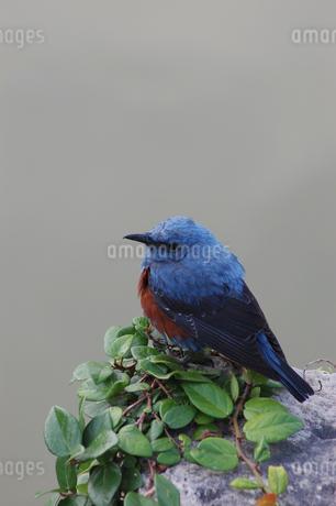 南国沖縄の青いイソヒヨドリの写真素材 [FYI02980644]