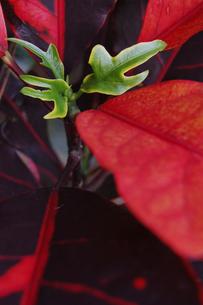 南国沖縄のクロトンの葉の写真素材 [FYI02980646]