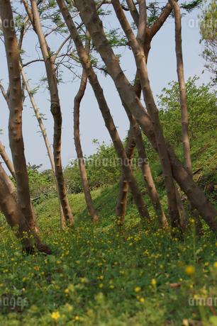 細い木々と緑の草原の写真素材 [FYI02980649]