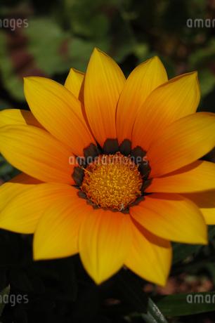 黄色い可愛い花が咲いているの写真素材 [FYI02980650]