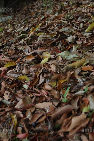 秋の落ち葉が敷き詰められているの写真素材 [FYI02980651]