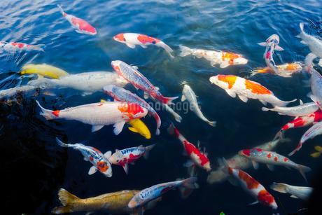 栗林公園の池で、群がる錦鯉の写真素材 [FYI02980937]