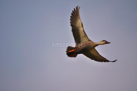 青空を背景に飛ぶカルガモ(一羽)の写真素材 [FYI02980939]