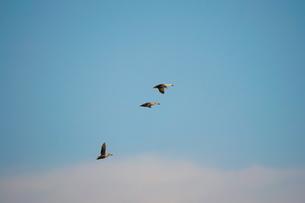 青空を背景に飛ぶカルガモ(三羽)の写真素材 [FYI02980952]
