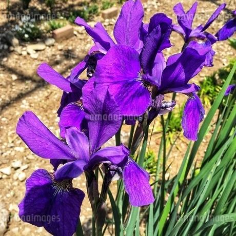 春の鮮やかな花の色 自然の色の素晴らしさ!の写真素材 [FYI02981122]