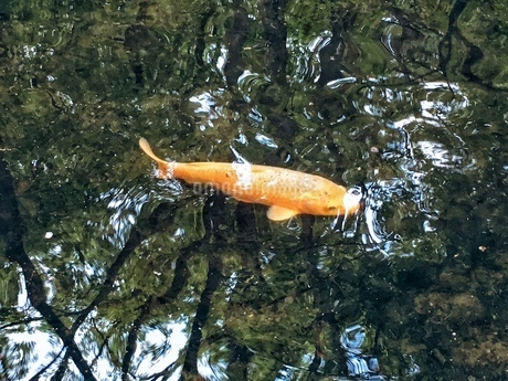 自然に水面に出てきたコイが鮮やかの写真素材 [FYI02981125]