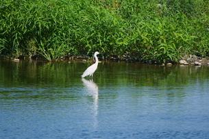 川の岸辺に佇む白鷺の写真素材 [FYI02981138]
