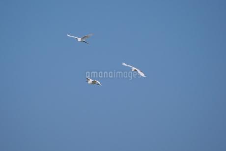 青空を背景に飛ぶ白鷺(三羽)の写真素材 [FYI02981140]