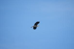 青空を背景に飛ぶアオサギの写真素材 [FYI02981152]