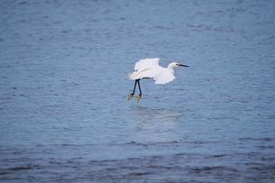 川に着水しようとしている白鷺の写真素材 [FYI02981155]
