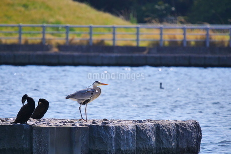 川の岸辺に佇むアオサギの写真素材 [FYI02981158]