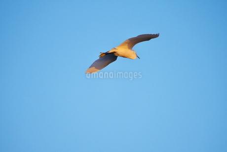 夕映えの中を飛ぶ白鷺の写真素材 [FYI02981159]
