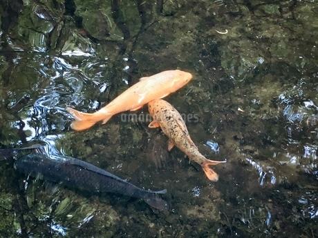瑞々しい池で泳ぐコイとフナ 雨上がりの午後の写真素材 [FYI02981163]